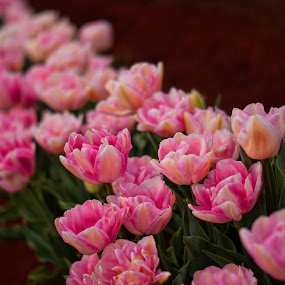 Tulips In a Row by Ewan Arnolda - Nature Up Close Flowers - 2011-2013