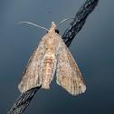 Owlet Paecte Moth