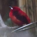 Brazilian Tanager