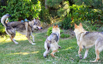Photo: Marley meets a male Wolfdog for the first time and is very interested, but also very shy.