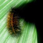 Garden tiger caterpillar