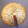 Hairy Long Stem Marasmius