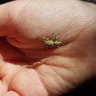 unidentified weevil