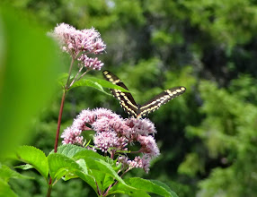 Photo: Giant swallowtail on milkweed flowers.
