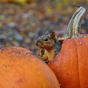 Pumpkin Squirrel by Viana Santoni-Oliver - Animals Other Mammals ( up close, orange, blurry background, fruit, seasonal, pumpkin, wildlife, fallen leaves, leaves, gravel, mammal, fox squrrel, nature, autumn, outdoors, fall, eating, trio, juvenile, outside, squirrel, animal )