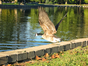 Photo: Canadian goose flying into a pond at Eastwood Park in Dayton, Ohio.