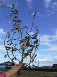 妻沼在来大豆。低い位置から枝が伸びているので、刈り取りが大変です