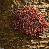 Bark Louse 嚙蟲