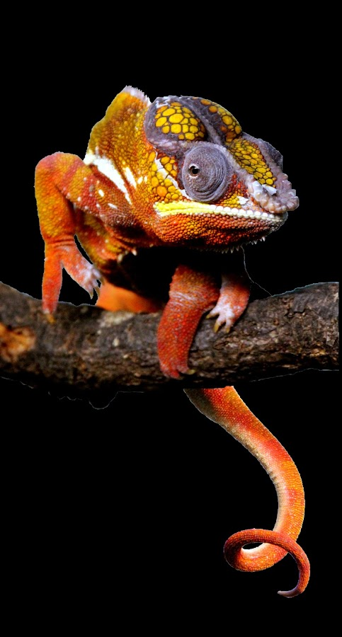 Panther Chameleon by Ralph Harvey - Animals Reptiles ( reptiles, wildlife, ralph harvey, chameleon, marwell zoo )