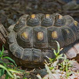 by Jim Jones - Animals Reptiles ( turtles, turtle, animal, animals, reptile )