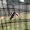 feather-horned longicorn beetle