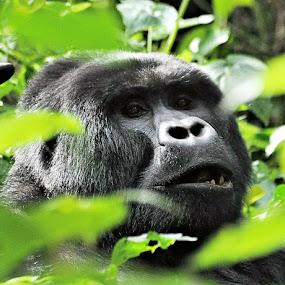 Mr Gorila by Mark Molinari - Animals Other Mammals ( uganda, animals, jungle, wildlife, gorilla,  )