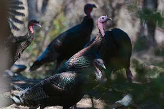 Photo: Wild turkeys in Turkey Creek Canyon, Chiricahua Mountains