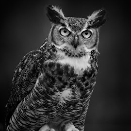 Portrait of a great horned owl by Sandy Scott - Black & White Abstract ( owl portrait, birds of prey, animals, pedators, black & white, owl, wildlife, raptor, birds, great horned owl, eyes,  )