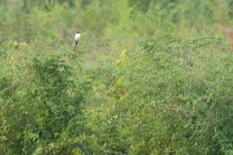 Photo: Fork-tailed Flycatcher (Gabelschwanz-Königstyrann); Bacalar, QROO