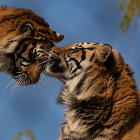 Loved up  by Tracy Morris - Animals Lions, Tigers & Big Cats