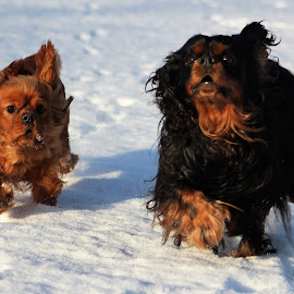 Two brothers on the go by Camilla Uddgren - Animals - Dogs Playing ( dogs, dogs playing, dog portrait, dogs running )