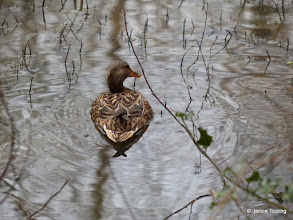 Photo: Female Mallard on one of the stretches of water alongside the bridleway
