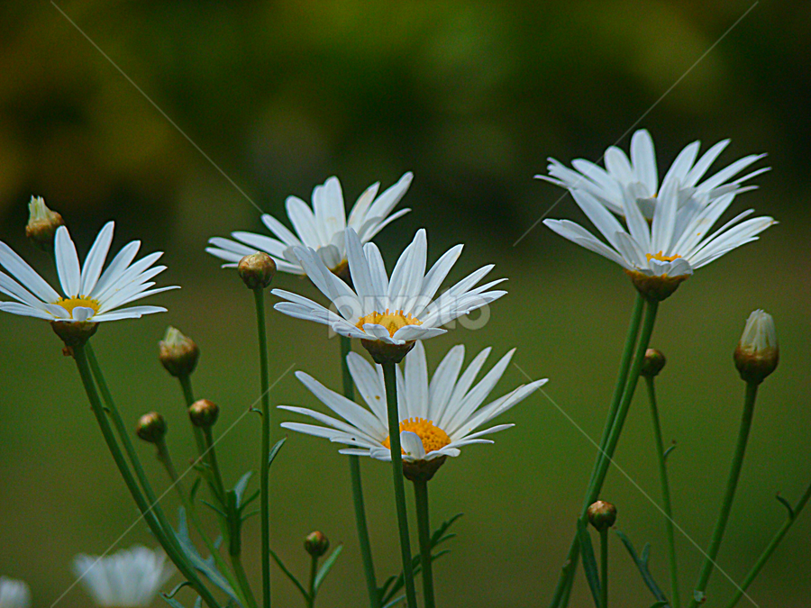 Garden of Daisies by Carmen Quesada - Flowers Flower Gardens ( purity, white, daisies, flowers, garden,  )