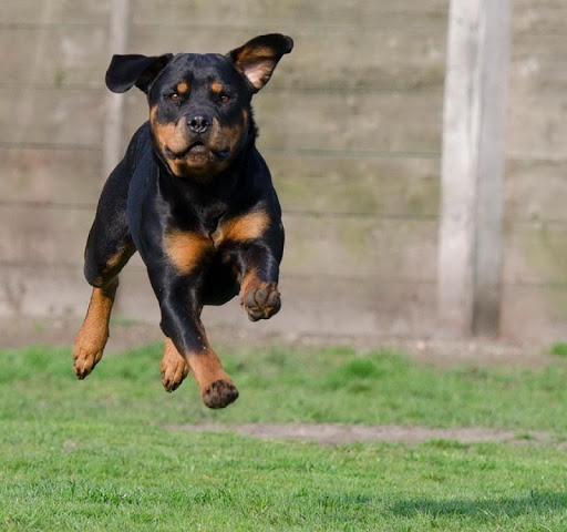 Rottweiler Dogs Wallpapers