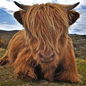 HIGHLAND COW APPLECROSS, SCOTLAND by Ross Hutton - Landscapes Prairies, Meadows & Fields