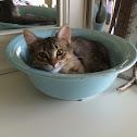 Beige tabby cat