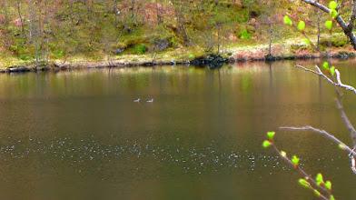 Photo: Smålom på Fossedalsvatnet
