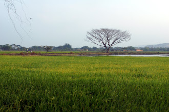 Photo: More rice fields.