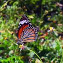 Striped Tiger, Female