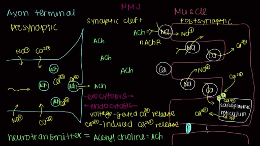 Neuromuscular junction motor endplate video – Neuron and Neuromuscular Junction Worksheet