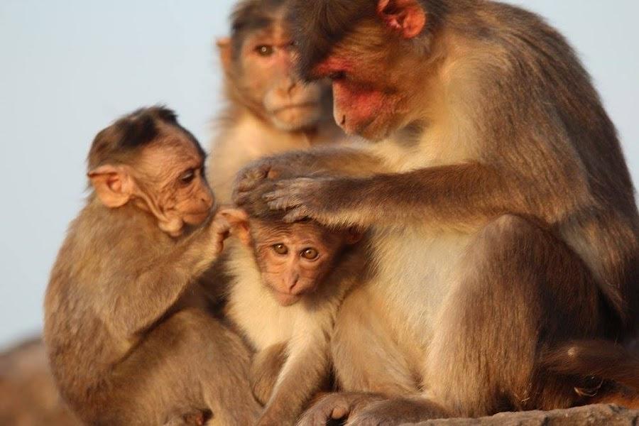 Bonnet macaque by Vivek Naik - Animals Other ( bonnet macaque )