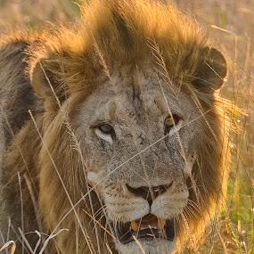 Warrior by Bill Frank - Animals Lions, Tigers & Big Cats