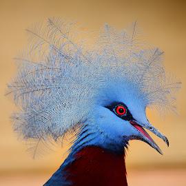 Pigeon couronné by Gérard CHATENET - Animals Birds