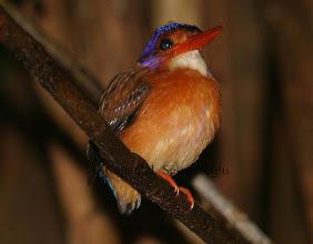 Photo: Sulawesi Pygmy Kingfisher