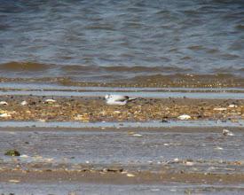 Photo: Little Gull