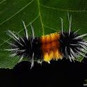 Spotted Tussock Moth Larva