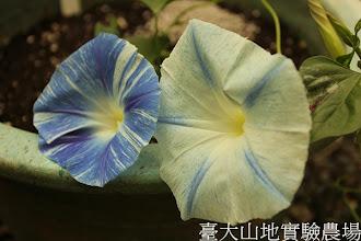 Photo: 拍攝地點: 春陽-可愛植物區 拍攝植物: 西洋朝顏 飛梭 拍攝日期:2013_07_02_FY