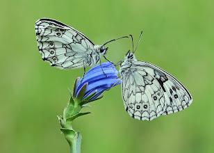 Photo: Demi-Deuil, Melanargia Galathea, Marbled White, Пестроглазка галатея  http://lepidoptera-butterflies.blogspot.com/