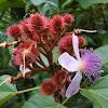 Annatto, Achiote, Lipstick Tree