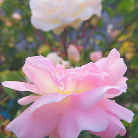 The Queen of the Garden by Debabrata Deb - Flowers Single Flower