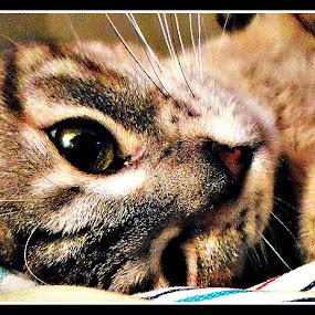 Ready to Sleep by Regina Watkins - Animals - Cats Portraits ( preparation, nap, avi, sleep, , #GARYFONGPETS, #SHOWUSYOURPETS )