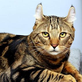 Serval Cat by Josh Norem - Animals - Cats Portraits ( cats, big cats, kitten, cat, serval, kittens, feline )