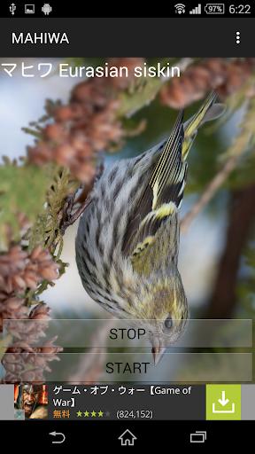 鳥鳴き声マヒワ