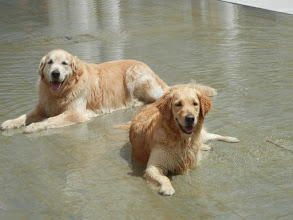 Photo: First cool thing we saw in Modena - two golden retrievers playing in a fountain in front of the Ducal Palace.  The palace is huge but not that interesting, not even worth a picture. But these two beauties sure were.