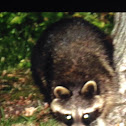 Northern Raccoon