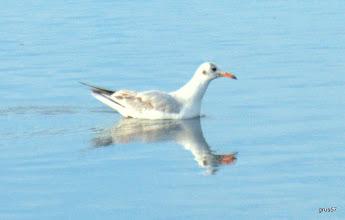 Photo: Морской голубок, Slender-billed Gull, (Larus genei), Миссолонги