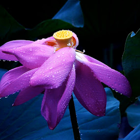 Raindrop Lily by Francisco Little - Flowers Flower Gardens ( pink, raindrops, lily, flower,  )