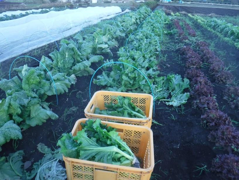 左から、かつお菜、こぶ高菜、サニーレタス
