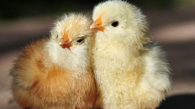 Trị bệnh bạch lỵ ở gà con