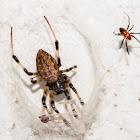 Asian hermit spider